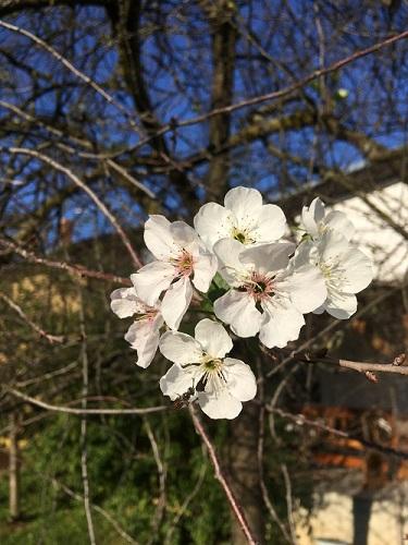 prijava za prijavljivanje trešanja u cvijeću trešnje